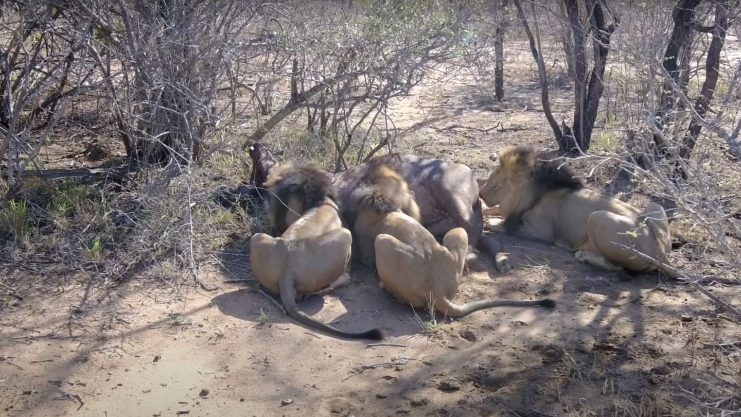 Review Travel Experience Game drive and AMAZING LIVE KILLING of a Buffalo by the 3 'LION DALTONS'